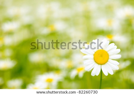 Very beautiful camomile  on a green meadow