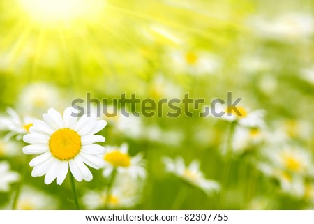 Very beautiful camomile  on a green meadow - stock photo