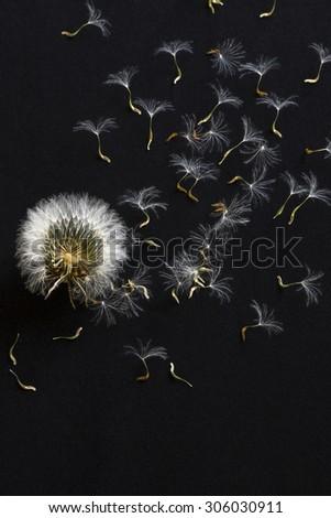 very beautiful dandelion on a black background - stock photo