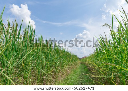 Very beautiful  rice fields , Rice field green grass blue sky cloud cloudy landscape background, stock photo