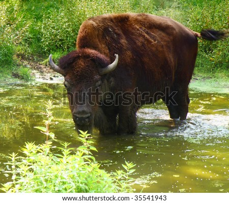 very big animal with horn in river - nice detail of a bison - stock photo