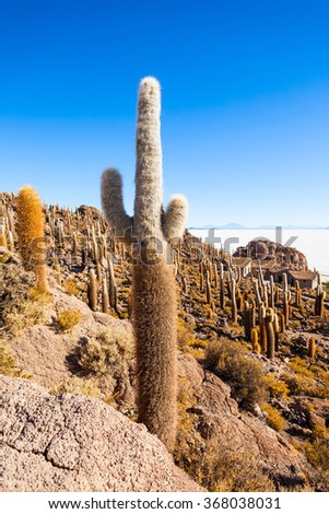 Very big cactuses on Cactus Island, Salar de Uyuni (Salt Flat) near Uyuni, Bolivia - stock photo