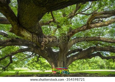 very big tree in Thailand - stock photo
