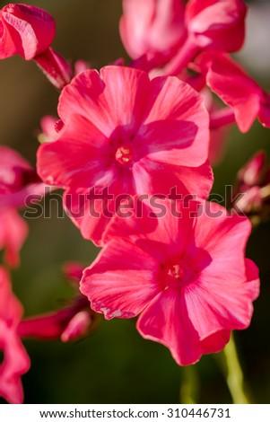 very bright pink phlox paniculata (Garden phlox) in bloom - stock photo