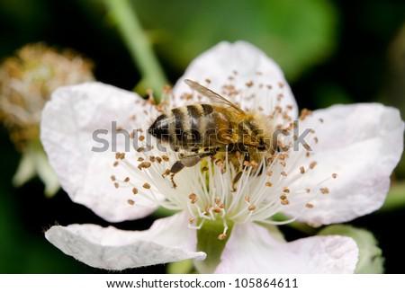 very busy honeybee - stock photo