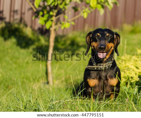 very cheerful and funny dog breed dachshund