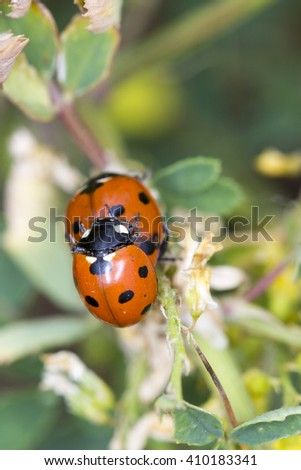 Very close photo of two Seven spotted ladybirds (Coccinella septempunctata) mating on a plant.