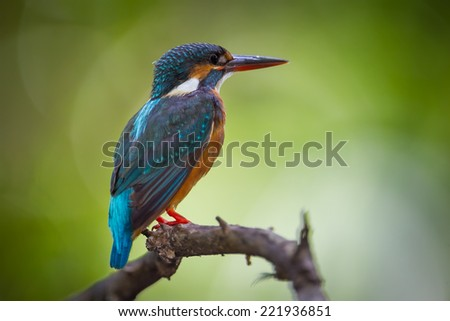 Very close up of Male Common kingfisher in nature of Thailand - stock photo