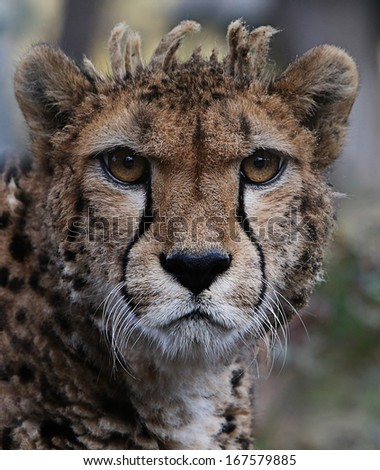 Very closeup of cheetah.  - stock photo