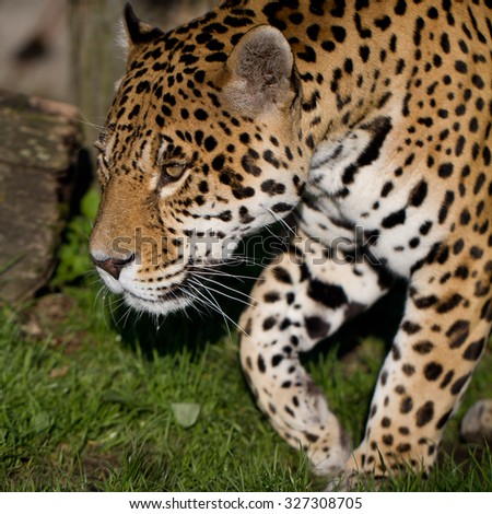 Very closeup of cheetah. Africa. Namibia. Cheetah head and teeth. Angry cheetah. - stock photo