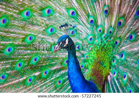 Very colorful peacock with full plumage. - stock photo