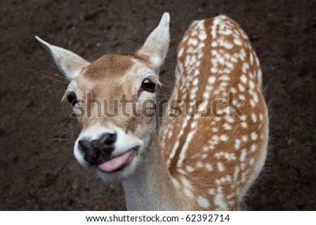 very cute and funny young deer showing the tounge