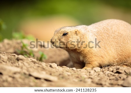 very cute black tailed prairie dog (Cynomys ludovicianus) - stock photo