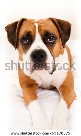 Very Cute Boxer Mix Dog Laying in Owners Bed - stock photo