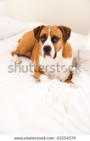 Very Cute Boxer Mix Dog Laying in Owners Bed
