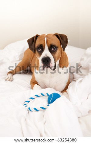 Very Cute Boxer Mix Dog Sleeping in Owners Bed with Blue Rope Toy