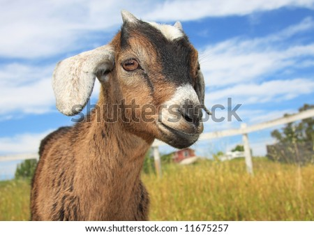 Very cute brown and white young kinder goat on a farm. - stock photo