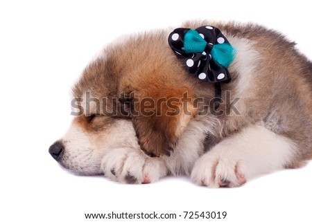 very cute bucovinean shepard puppy sleeping on white background, closeup picture - stock photo