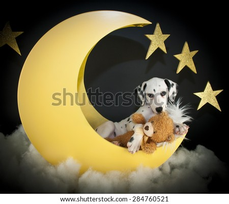 Very cute Dalmatian puppy laying in a crescent moon with his teddy bear.