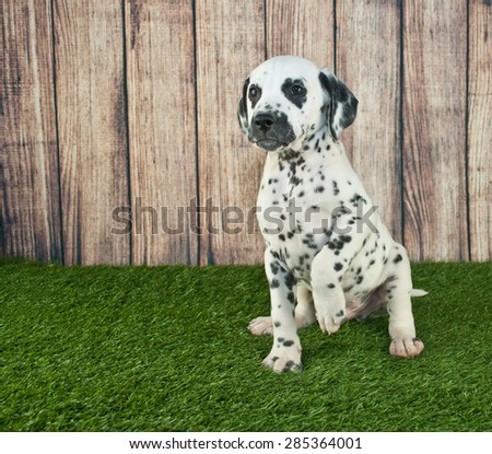 Very cute Dalmatian puppy sitting in the grass begging, or pointing at something, with copy space.
