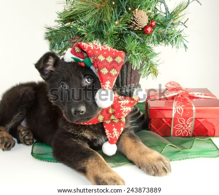 Very cute German Shepherd puppy laying under a Christmas tree wearing a scarf and hat. - stock photo