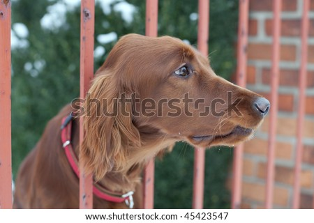 very cute guard dog poking his head through the fence and looking you up and down - stock photo