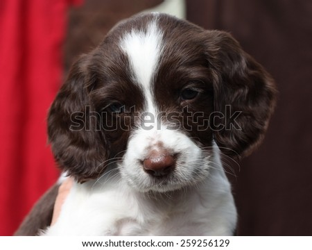 very cute liver and white working type english springer spaniel pet gundog puppy - stock photo