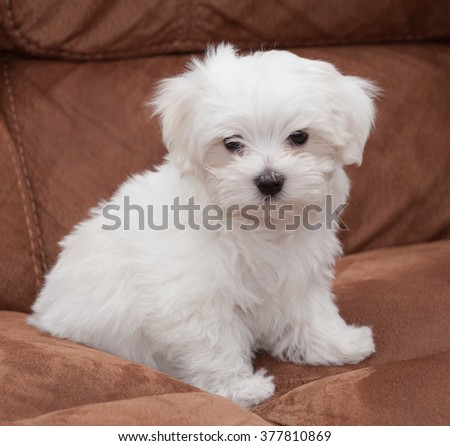 Very cute Maltese Puppy 10 weeks old, from champion parents - stock photo