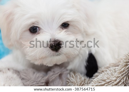 Very cute Maltese Puppy 10 weeks old, from champion parents