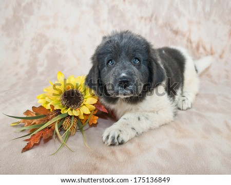 Very cute  Newfoundland puppy laying down with yellow sunflowers and fall decor. - stock photo