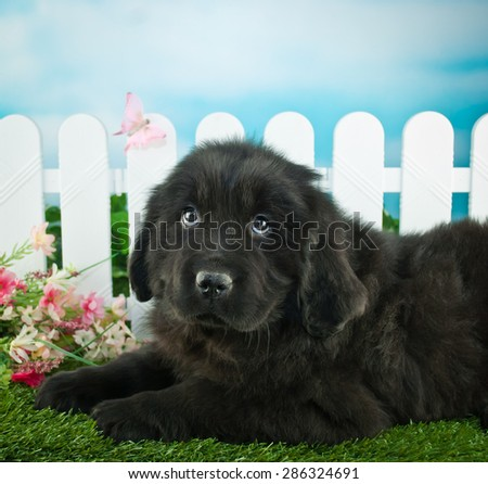 Very cute Newfoundland puppy laying in the grass outdoors with flowers and a white picket fence behind her. - stock photo