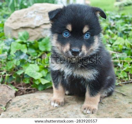 Fantastic Puppy Blue Eye Adorable Dog - stock-photo-very-cute-pomsky-puppy-sitting-on-a-rock-outdoors-with-very-blue-eyes-283920557  Best Photo Reference_60312  .jpg
