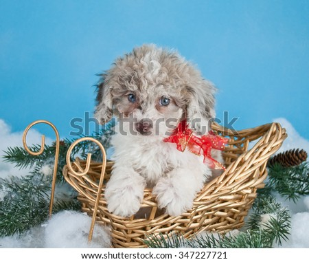 Very cute Poodle puppy sitting in a sled with snow around her, wearing a red bow on a blue background with copy space.