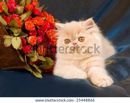 Very cute pretty Persian kitten on shiny blue bronze background fabric, with miniature red orange roses flowers blooms