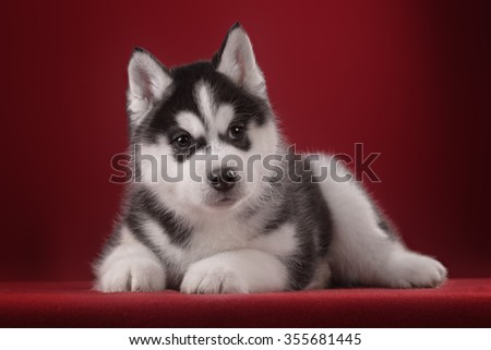 Very cute puppy Husky in the Studio with decorations and flowers. The photo for congratulation and celebration