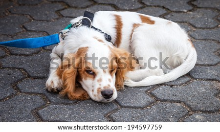 Very cute red and white cocker spaniel dog on a leash curled up and in sleeping position with one eye open on concrete tiles - stock photo
