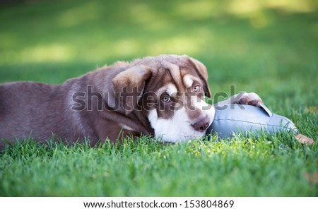 Very Cute Sharpei Mix Puppy Playing with Toy on Green Grass - stock photo