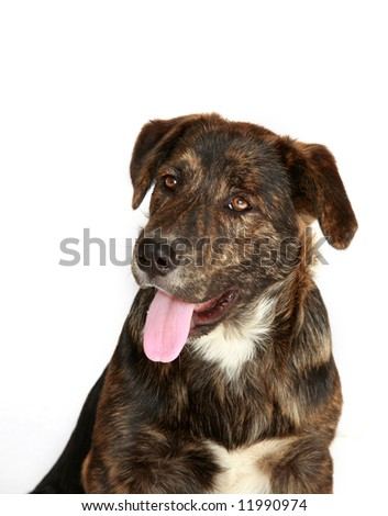 Very cute, young black and brown lab mix, against white background, looking upwards.