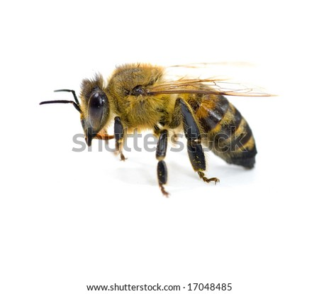 Very detailed Bee on white - stock photo