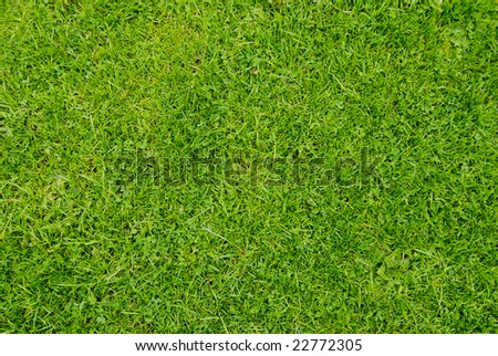 very detailed golf-green grass texture close up view - stock photo