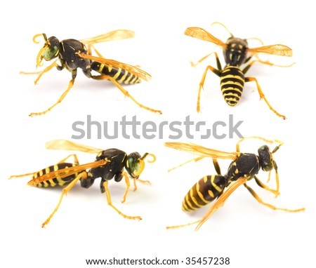 Very detailed Wasp set - stock photo