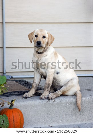 Very dirty yellow lab / retriever puppy waits on the steps ready to come into the house