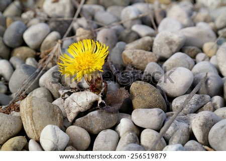 Very early flower in spring, coltsfoot, tussilago farfara - stock photo