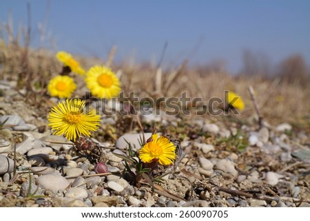Very early flower in spring, coltsfoot, tussilago farfara