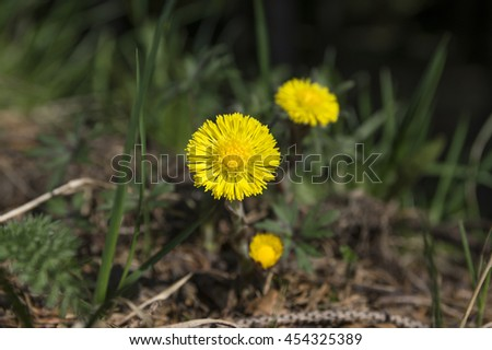 Very early flower in spring, coltsfoot, tussilago farfara in bloom - stock photo