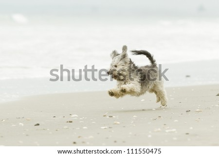 Very energic Shih Tzu male running at full speed on the beach - stock photo