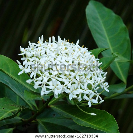 Very fragrant white flowers name siamese stock photo royalty free very fragrant white flowers name siamese white ixora scientific name ixora finlaysoniana wall mightylinksfo