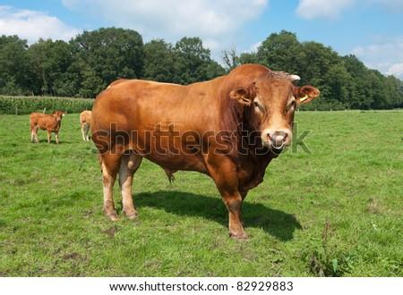 very impressive limousine bull in a dutch meadow - stock photo