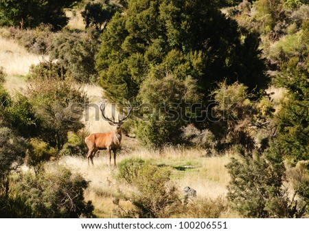 very large antlered wild Male Red deer (Stag) checking out an intruder in the South Island of New Zealand - stock photo