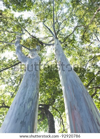 Very large eucalyptus - stock photo